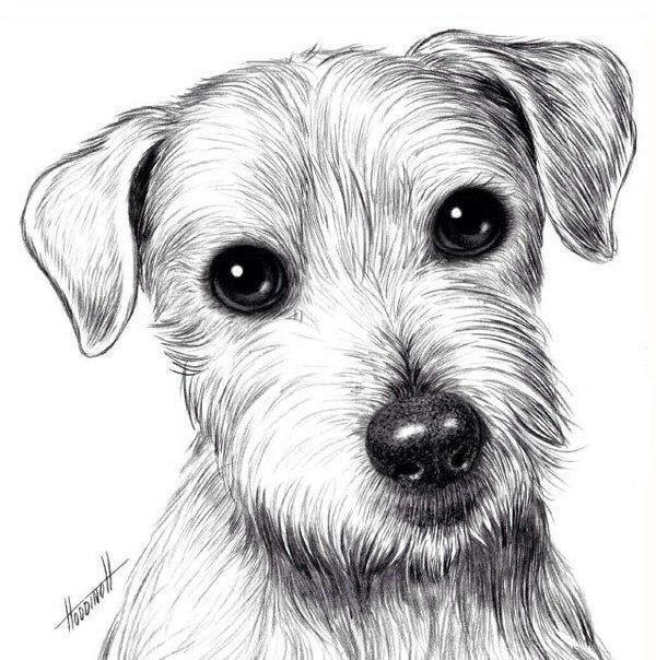 Рисуем собаку карандашом: джек рассел терьер 0